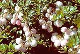 Snowberry 50 Seeds - Gaultheria miqueliana - Perennial
