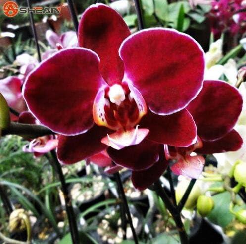 Las semillas de flor de las semillas de orquídeas Phalaenopsis jardín de casa-comprar directo de China-orquidea semente 30PCS F96 de la orquídea de la semilla: Amazon.es: Jardín