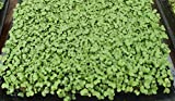 buy 3,000+ Microgreens Seeds (38 grams)- Cherry Belle Radish now, new 2018-2017 bestseller, review and Photo, best price $3.99