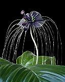Seedeo Paquet de 15 semences de fleur chauve-souris Tacca chantrieri