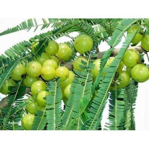 A2C Plant Live Amla/Indian gooseberry Herbal Plant With Pot (B07V4QLD8K) Amazon Price History, Amazon Price Tracker