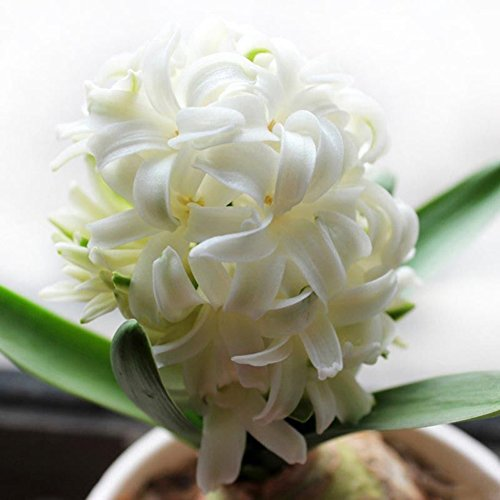 300Pcs Hyacinth Seeds Perennial Flower Plant Home Garden Bonsai Decoration - White