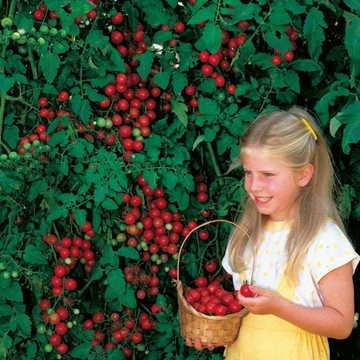 Park Seed Sweet Million Hybrid Tomato Seeds