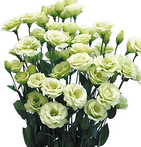 【メール便配送】国華園 種 花たね トルコキキョウ F1アルベールグリーン 1袋(25粒)【※発送が株式会社 国華園からの場合のみ正規品です】