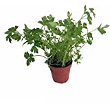 """Italian Flat Leaf Parsley - Favored by Chefs! - 3"""" Pot"""