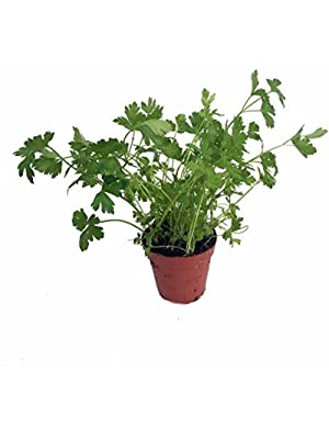 """Flat Leaf Italian Parsley - Favored by Chefs! - Live Plant - 3"""" Pot"""