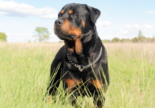 rottweiler pictures - 4
