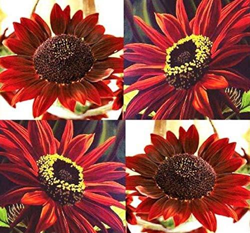 (time-Limit!!20 pcs Mini Sunflower Seeds Dwarf Sunflower Garden Sunflower Series Height 40cm Flower Plant, x7cdba: red)