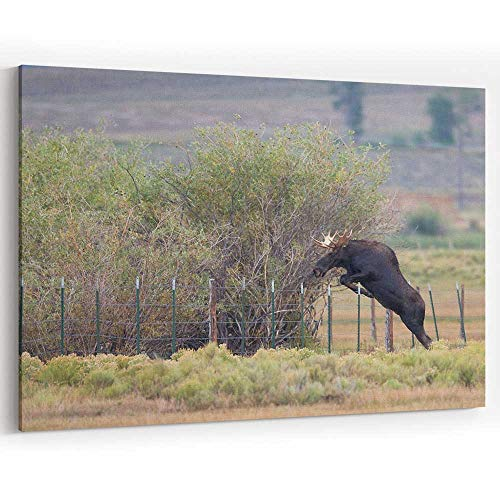 Moose Fence - Bull Moose Jumps Over Fence Canvas Prints Wall Art for Home Decor Stretched-Framed Ready to Hang