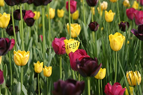 Tulip Photograph (Tulips flower photograph by Terry Siegrist)