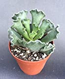 ADROMISCHUS CRISTATUS, THE FRIED PIE PLANT, ROOTED PLANT! SHIPPED IN IT'S POT