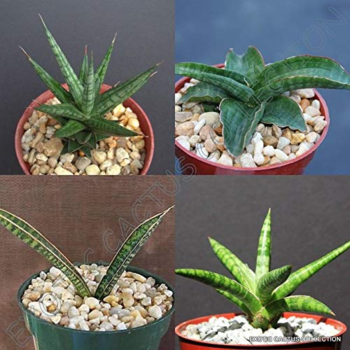 4'' Plant SANSEVIERIA Collection Variety Exotic Rare Succulent Collector Plants