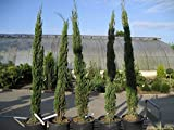 Italian Cypress Tree 100 Pcs Seeds (Cupressus Sempervirens Stricta) for Home Garden