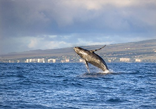 Posterazzi Hawaii Maui Kaanapali Humpback Whale Breaching With Island In The Background. Poster Print (18 x 13) from Posterazzi