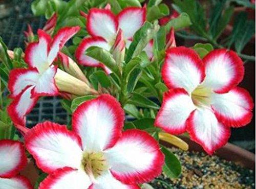 Adenium Obesum Desert Rose Bonsai Tree Flower Seeds Heirloom 5 Seeds Bulk