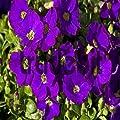 200+ Purple Rock cress Cascading Flower Seeds , Under The Sun plant