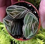 Tradescantia Navicularis (Callisia Navicularis) 2 Inch Pot Chain Plant VND-008