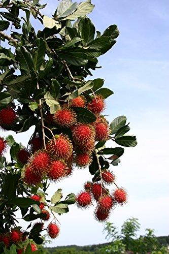 Fresh Rambutan Fruit (5lb) by Ecoripe Tropicals (Image #5)