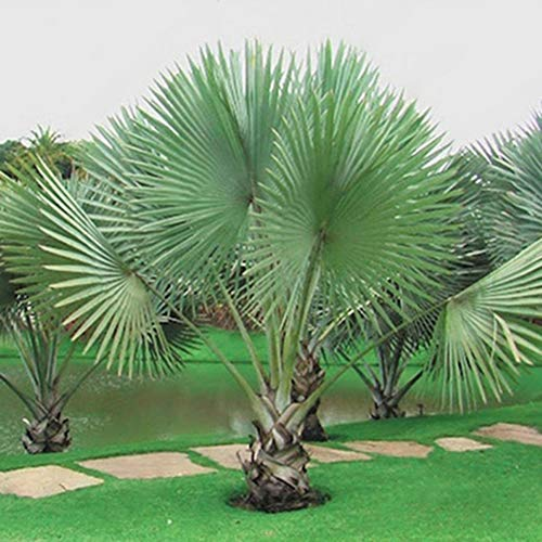 w70anFUyjn Premium Sago Palm Tree Seeds 50Pcs Suitable for Home Garden Pots Planting Decoration Palm Tree Seeds