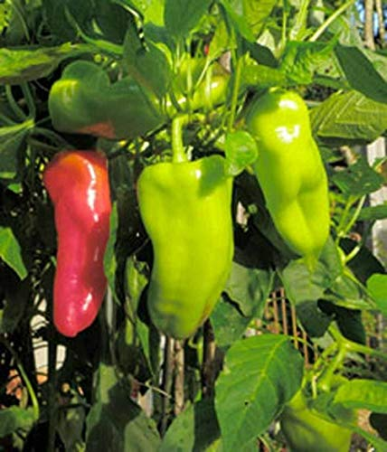 Cubanelle Pepper - Cubanelle Pepper