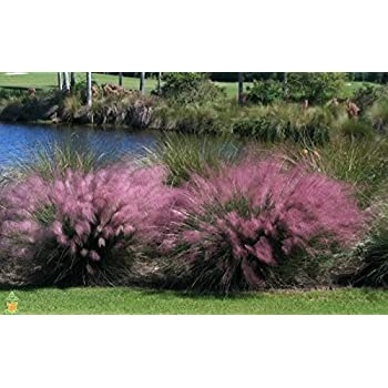 Cotton Candy Ornamental Grass Amazon cotton candy pink muhly grass 1 gallon potted plant cotton candy pink muhly grass 1 gallon potted plant workwithnaturefo