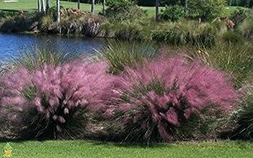 Amazon cotton candy pink muhly grass 1 gallon potted plant cotton candy pink muhly grass 1 gallon potted plant mightylinksfo