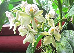 prosthechea-radiata-appendage-orchid-is-a-common-name-for-this-genus
