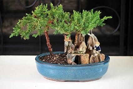 Amazon Com 9greenbox Juniper Tree Bonsai With Poll And Fisherman Grocery Gourmet Food