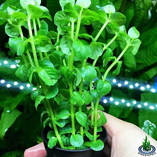 Greenpro Rotala Indica Green Rotundifolia Potted Stems Live Aquarium Plants Freshwater Tank Decoration