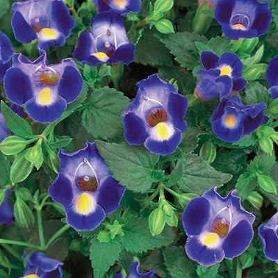 Torenia, Catalina, Midnight Blue, Premium Annual Plants (4-Pack), 4.33″ Pot : Garden & Outdoor