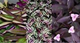 3 Types Variety Lot - Wandering Jew Sailor Tradescantia House Plant - EZ Care