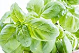 150 Sweet Basil Seeds - Large Leaf Italian Basil - Largest Leaves of All Basil Varieties - by RDR Seeds
