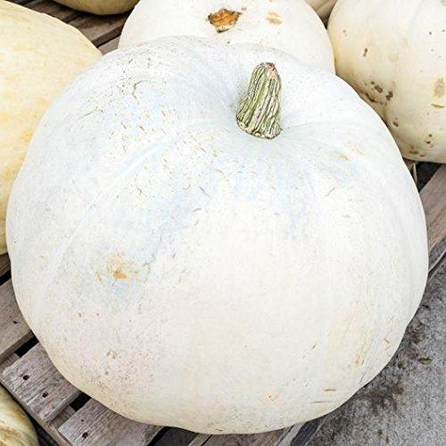 White Pumpkin Seeds - David's Garden Seeds Pumpkin Casper SL122 (White) 25 Heirloom Seeds