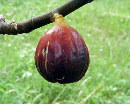 Amazon Com Magnolia Fig Live Potted Plant Fruit Tree Cold