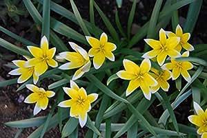 2 x Striking Tulip tarda bulbs (hardy and easy to grow)