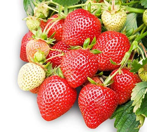 Honeoye Strawberry 315 Seeds + 1 Free Plant Marker