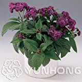 AGROBITS Cherry Pie Heliotropium Arborescens Bonsai 100pcs, Highly Fragrant Plant Flower Bonsai, Marine Flower Bonsai