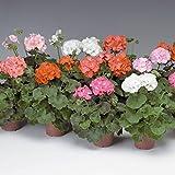 Pinto Premium F1 Series Geranium Flower Garden Seeds - Mix - 100 Seeds - Annual Flower Gardening Seeds