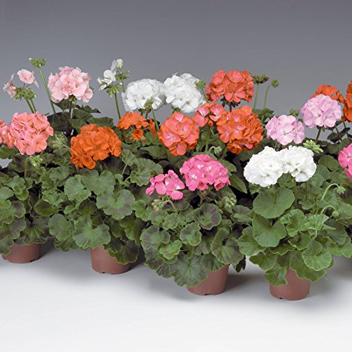 Pinto Premium F1 Series Geranium Flower Garden Seeds - Mix - 100 Seeds - Annual Flower Gardening Seeds by Mountain Valley Seed Company