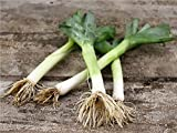 David's Garden Seeds Leek Carentan SL9388 (Green) 500 Non-GMO, Heirloom Seeds