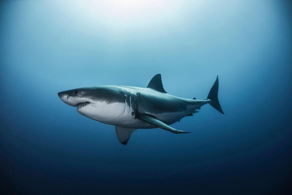 Pyramid America Great White Shark Swimming in Pacific Ocean Photo Art Print Poster 36x24 inch