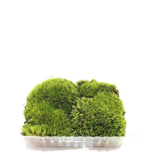 Live Moss Variety Sampler - Fern Moss, Sheet Moss, Frog Moss (Terrarium Plants Moss)
