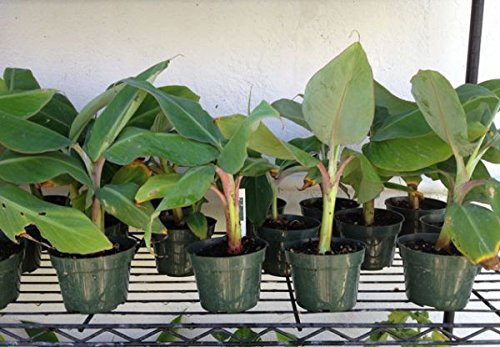 1 LIVE PLANT Goldfinger Dwarf Banana Tree - RARE Desert Banana 3 to 8 inch tall by rianiq07
