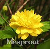 New Rare Kerria Japonica 50+ Seeds