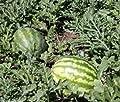 Watermelon, Kleckley's Sweet, Heirloom, Organic 25+ Seeds, Large & Super Sweet