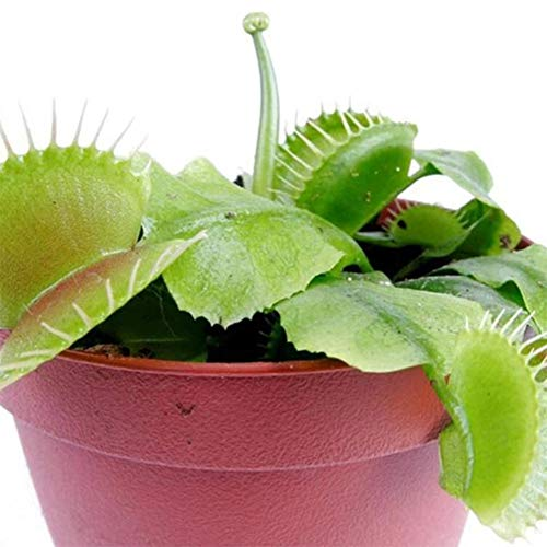 Opla3ofx Seeds for Planting, 50Pcs Dionaea Muscipula Seeds Venus Flytrap Carnivorous Plant Home Bonsai Decor,Idea Outdoor and Indoor Ornament Dionaea Muscipula Seeds