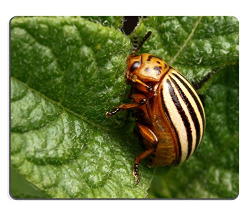 msd-natural-rubber-mousepad-colorado-beetle-devouring-leaves-of-potato-image-34653880