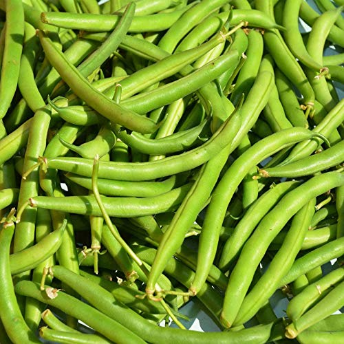 (Provider Bush Bean Seeds - Non-GMO, Heirloom Green SNAP Bean Seeds - Garden 1 Lb)