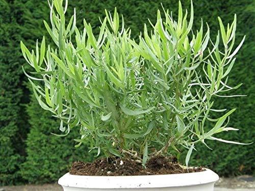 estragon herb Kitchen Garden Patio EU Standard Indoor Outdoor Seeds UK (Best Outdoor Seeds Uk)