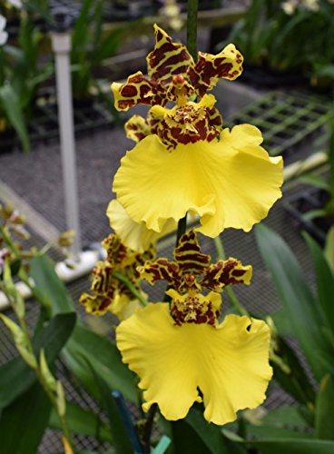 Oncidium Jiuhbao Gold Dancing Lady orchid